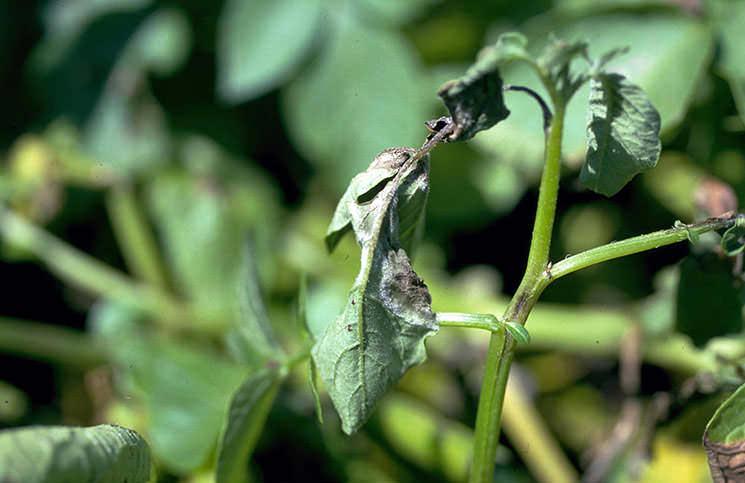 В теплице старые листья убираются до второй-третьей кисти. На них селится инфекция