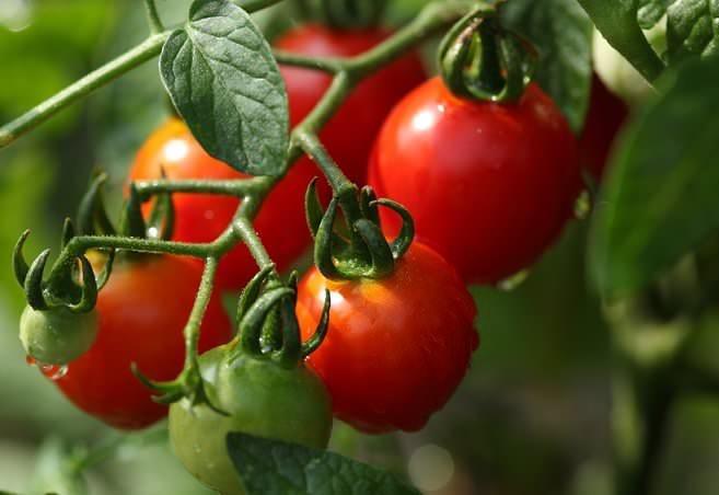 Купите разные сорта томатов для теплицы, умеющих противостоять как низкой температуре, так и засухе