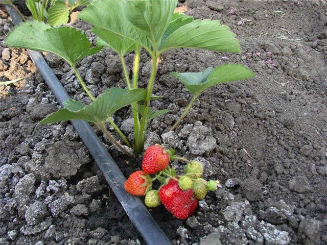 Самым удобным вариантом для увлажнения почвы под клубникой в защищённом грунте является использование современной системы капельного орошения