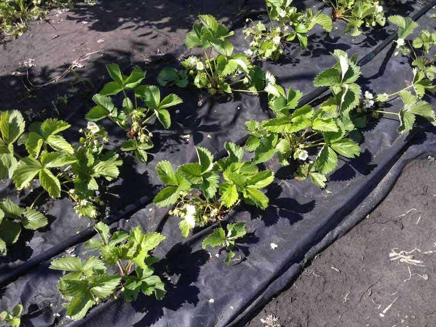 Уход за тепличными грядами, обустроенными с применением агроволокна, отличается лёгкостью и простотой, а урожай радует садоводов и огородников своим качеством и обилием
