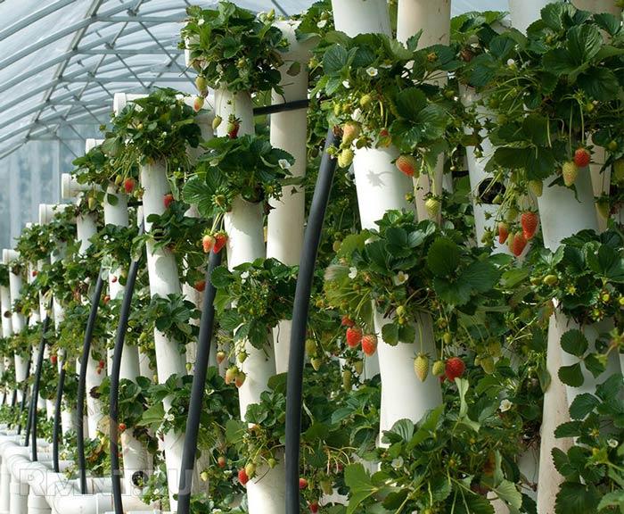 Клубника, выращиваемая на вертикальных грядках, отличается высокой отдачей урожая