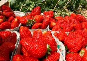 Выращивание клубники в парнике подходит тем, кто нацелен получать вкусную и сочную ягоду круглый год