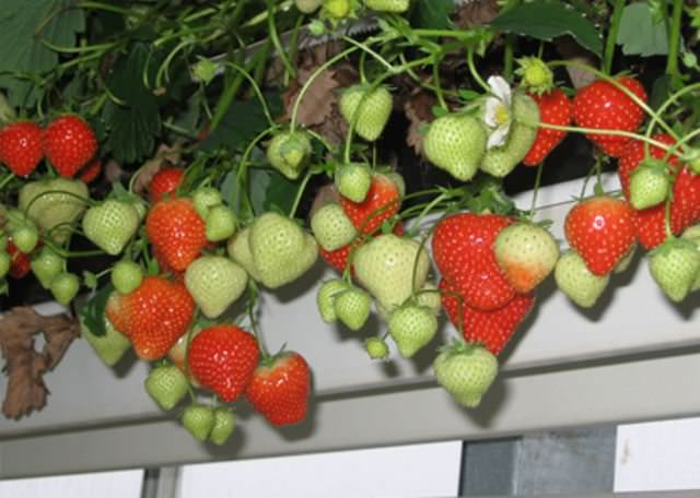 Свет требуется любому сорту. При этом во время цветения световой день должен равняться 8 дням, тогда ягоды завяжутся через полтора месяца после проведения посадки