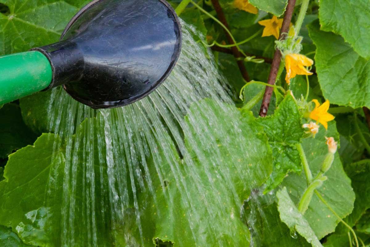 Одной из причин, по которой растут искривлённые огурцы, заключается в использовании для поливов холодной воды. На такие поливы этот тропический овощ реагирует весьма болезненно