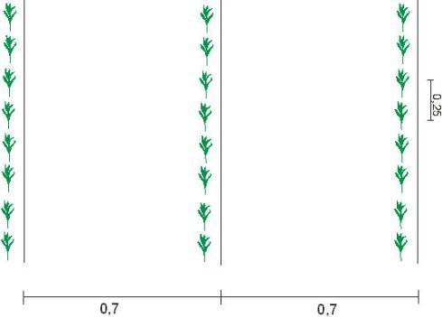 Посадку кукурузы выполняют рядовым методом, а межрядный промежуток не может быть менее пятидесяти сантиметров