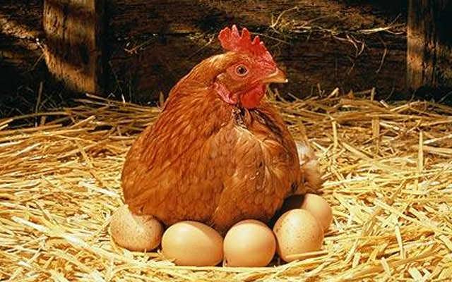 Несутся пернатые с начала весны и до поздней осени по одному яйцу, молодые несушки чаще, но яйца у них более мелкого размера