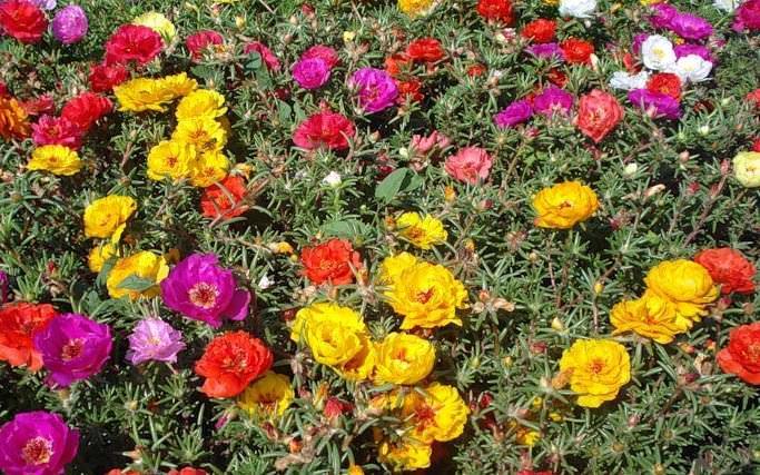 В средние века махровый портулак широко использовался для украшения различных цветников