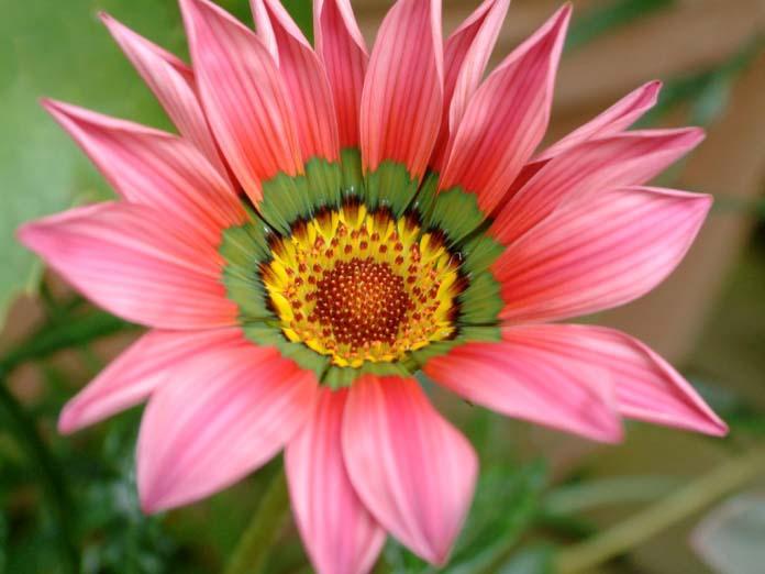 Видовая гацания отличается тем, что ее соцветия раскрываются лишь под прямыми солнечными лучами