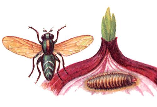 Луковая муха откладывает яйца на сухие чешуйки лука