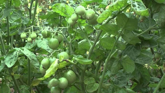Жирующие кусты можно определить так: плодовая масса не развивается, а сила идет на вегетацию, в зелень