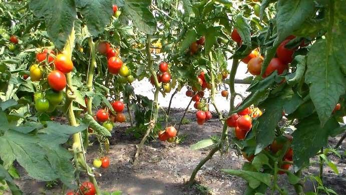 Оптимальный микроклимат повышает урожайность в теплице в несколько раз