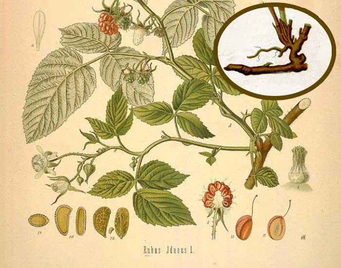 Садовая малина является листопадным полукустарником, обладающим многолетним типом корневища, которое способствует развитию двухгодичных надземных стеблей с высотой до двух метров