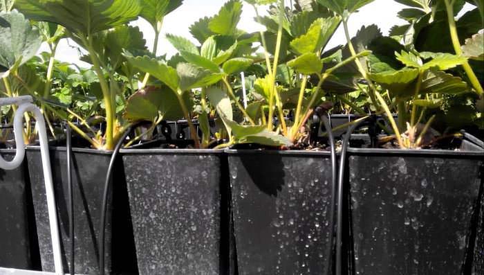 Лучший вариант для полива клубники – капельная система. Она не допустит попадания влаги на цветы