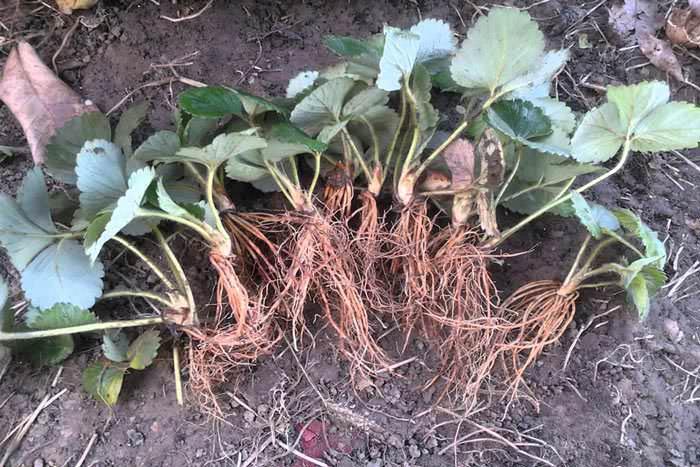 Выращивание клубники по голландской технологии предполагает выкапывание укорененных розеток в конце сентября. Потом рассаду очищают от грунта и больших листьев. При этом важно не подрезать корни, не промывать их водой