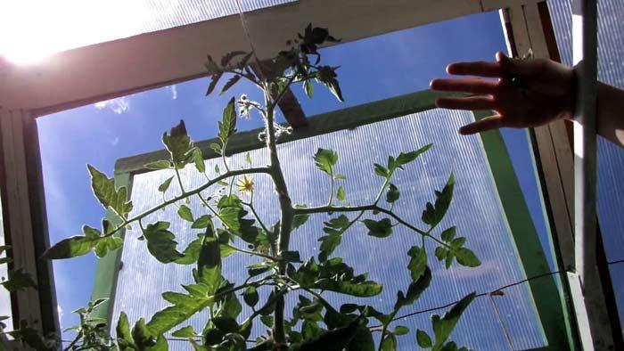 Оптимальной температурой для томатов является 23 градуса выше нуля, а влажность должна составлять не более 90%. Тогда растения не будут болеть, а их урожайность увеличится в 10 раз
