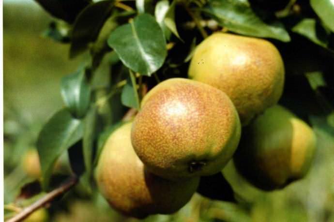 Съемная зрелость груши урожая «Любимица Яковлева» приходится на первую половину сентября
