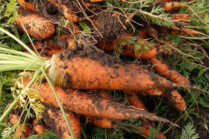 Значительное влияние на качество корнеплодов и урожайность оказывает правильный уход за морковью