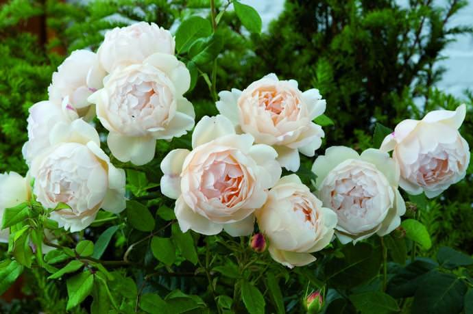 David Austin roses обладает очень выраженным ароматом и пропорциональной кустовой формой