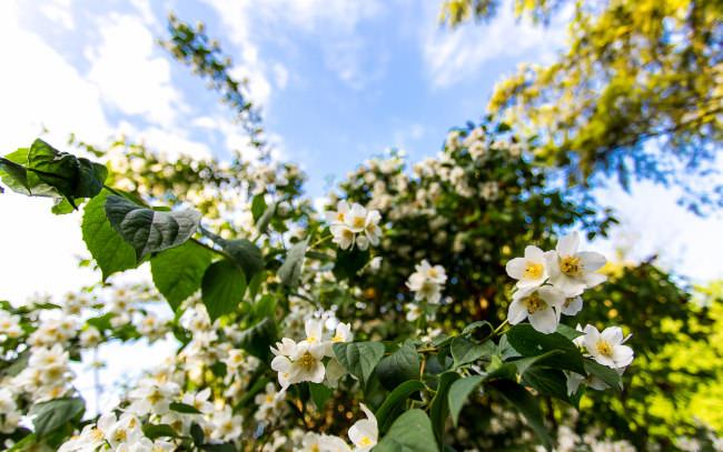 Жасмин крупноцветковый – ветвистый кустарник с гладкими стебли, достигающими 10 м в высоту