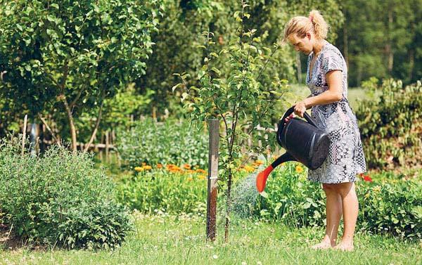 Подкормка и полив груши на всех стадиях развития и вегетации плодового дерева должны осуществляться в установленные технологией выращивания сроки