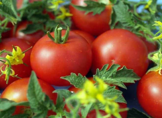 Сорт помидоров под красивым названием Джина относится к крупноплодным среднеспелым разновидностям