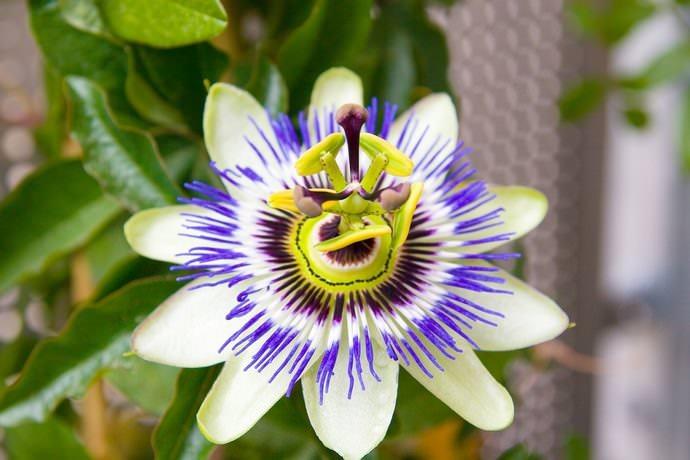 При выращивании в условиях открытого грунта рекомендуется отдать предпочтение голубой пассифлоре