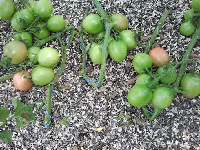 Кусты томата Де Барао необходимо формировать в один или два стебля