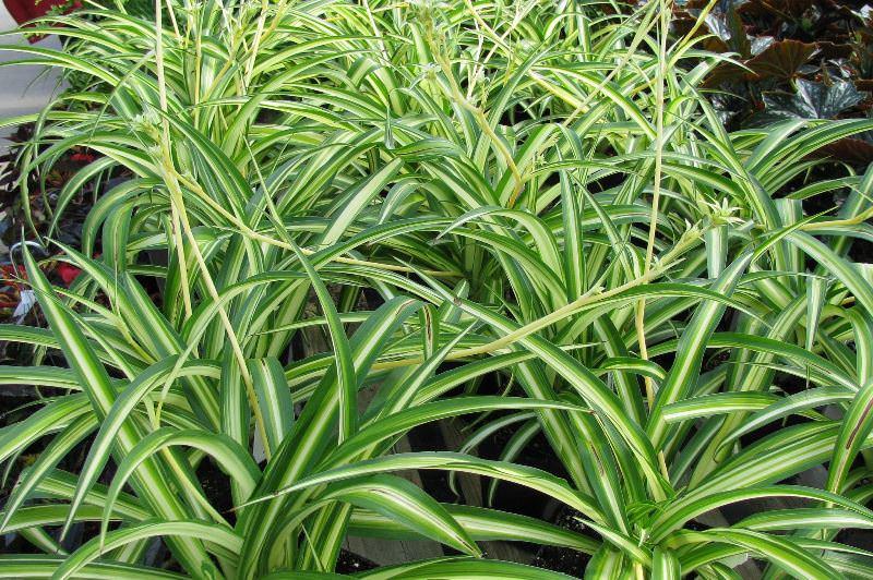Рекомендуется держать растение на кухне, где и скапливается наибольшее количество вредных примесей