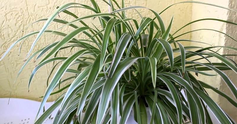 В весенне-летний период растение надо подкармливать удобрениями
