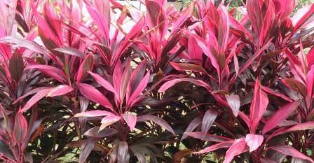 Кордилина – это комнатный цветок, который ценят за декоративность листьев