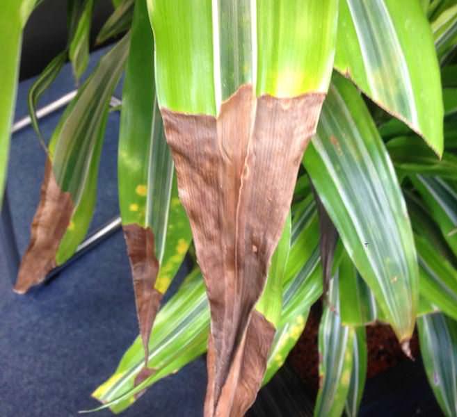 Если сохнут кончики листьев кордилины – то это значит, что в помещении слишком сухой воздух
