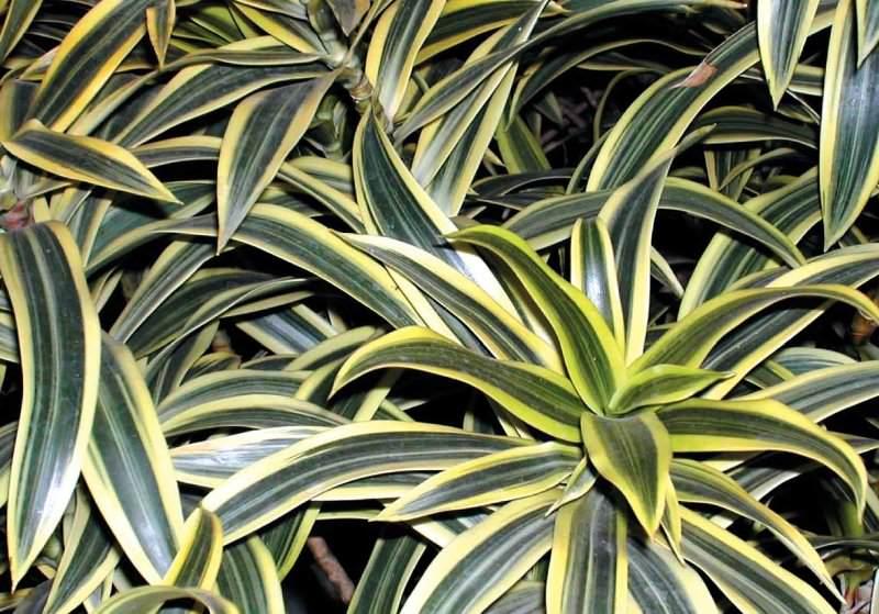 Кордилину нередко относят к так называемым «ложным пальмам» благодаря отдаленному сходству строения с этими экзотическими деревьями