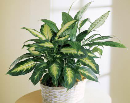 Диффенбахия популярна в качестве комнатного цветка