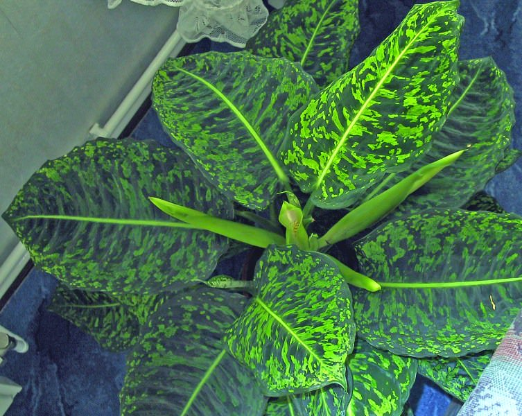 Диффембахия пестрая, или раскрашенная (Dieffenbachia picta)