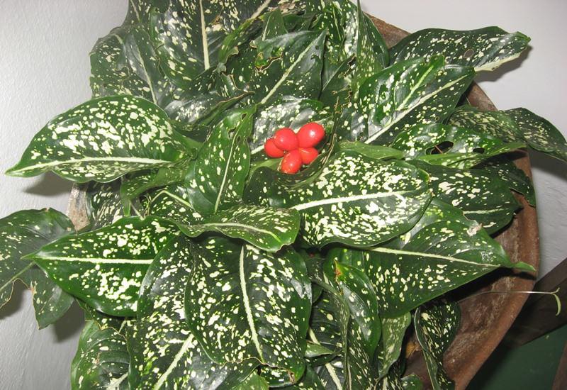 Диффенбахия пятнистая, или расписная (Dieffenbachia maculata)