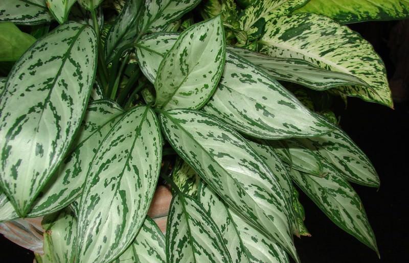 Великолепная (Dieffenbachia magnifica)