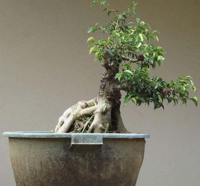 Как и многие растения, фикус любит, когда его балуют удобрениями
