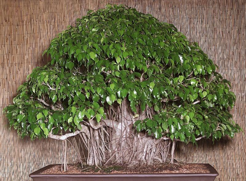 В том, как формировать крону фикуса и ухаживать за зеленым питомцем, ничего трудного нет