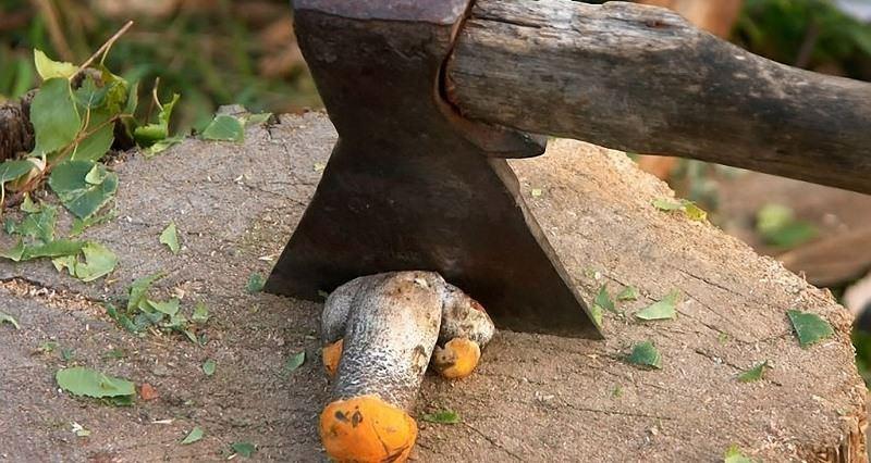 В походных условиях лучше сразу выбросить ножки грибов – они хранятся очень плохо