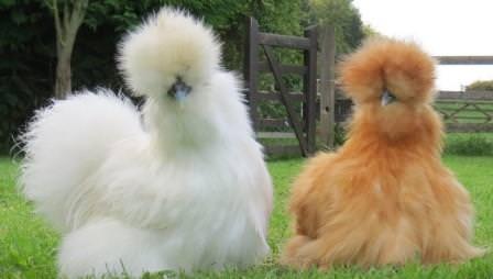 Столь необычная, отличающаяся от привычных видов домашней птицы китайская шелковая курица известна миру уже несколько тысячелетий
