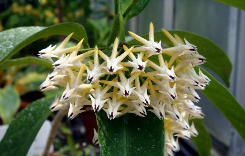Получив в быту название восковой плющ, хойя подхватила и связанные с этим ползучим растением суеверия