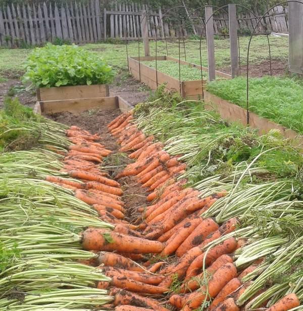 Для хранения моркови в подвале или квартире лучше убирать ее урожай в теплую и сухую погоду