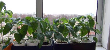 В средней полосе России и в Сибири предварительно приходится выращивать рассаду в домашних условиях