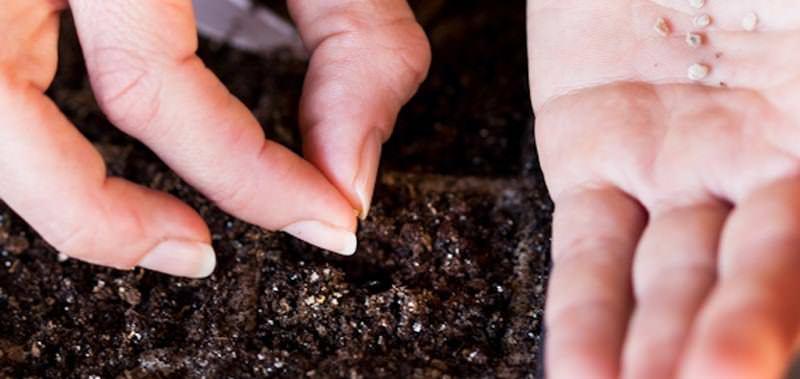 Обычно высаживать семена перца следует в течение марта