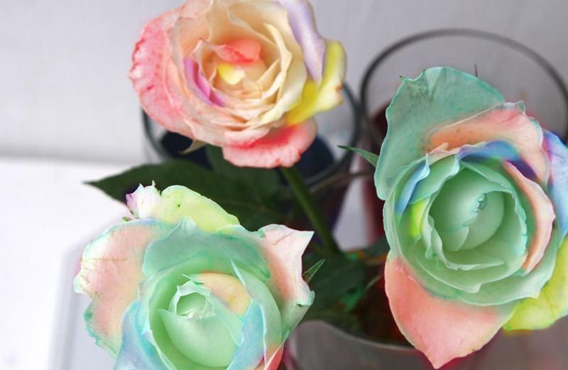 Каждая часть стебля помещается в отдельный стаканчик с краской, после чего розу необходимо закрепить так, чтобы она не сломалась и впитала максимум красителей