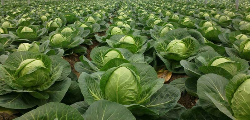 Капуста – одна из основных культур, которая выращивается в овощеводческих хозяйствах Сибири, благодаря устойчивости к холодам