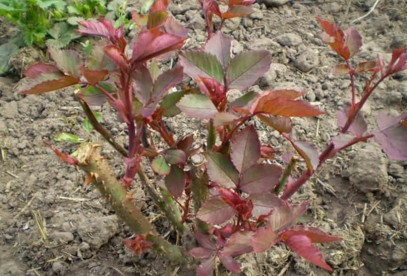 Посадку роз можно проводить в весенний период с конца апреля по конец мая и в осенний с начала сентября до середины октября