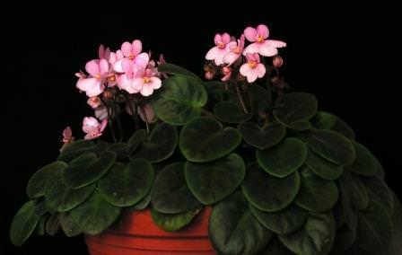 Сенполия - широко распространенное в комнатном цветоводстве растение
