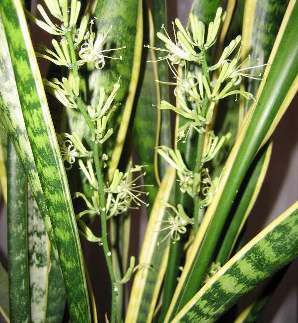 В период цветения у сансивиерии формируется длинный цветонос с густыми цилиндрическими соцветиями