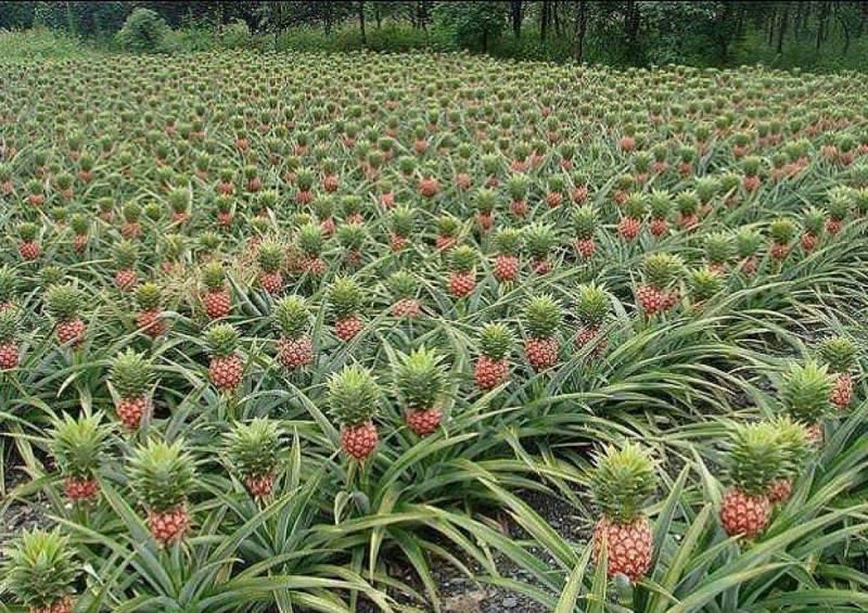 Ананас является одним из видов бромелиевых растений, растущих прямо на земле
